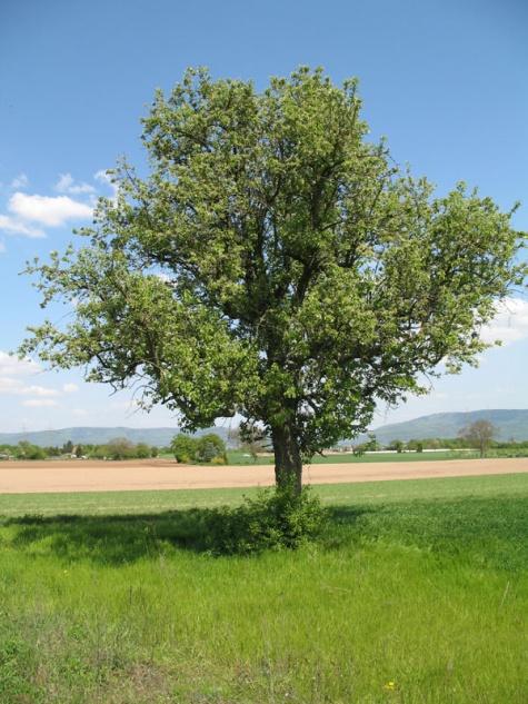 rauben am obstbaum