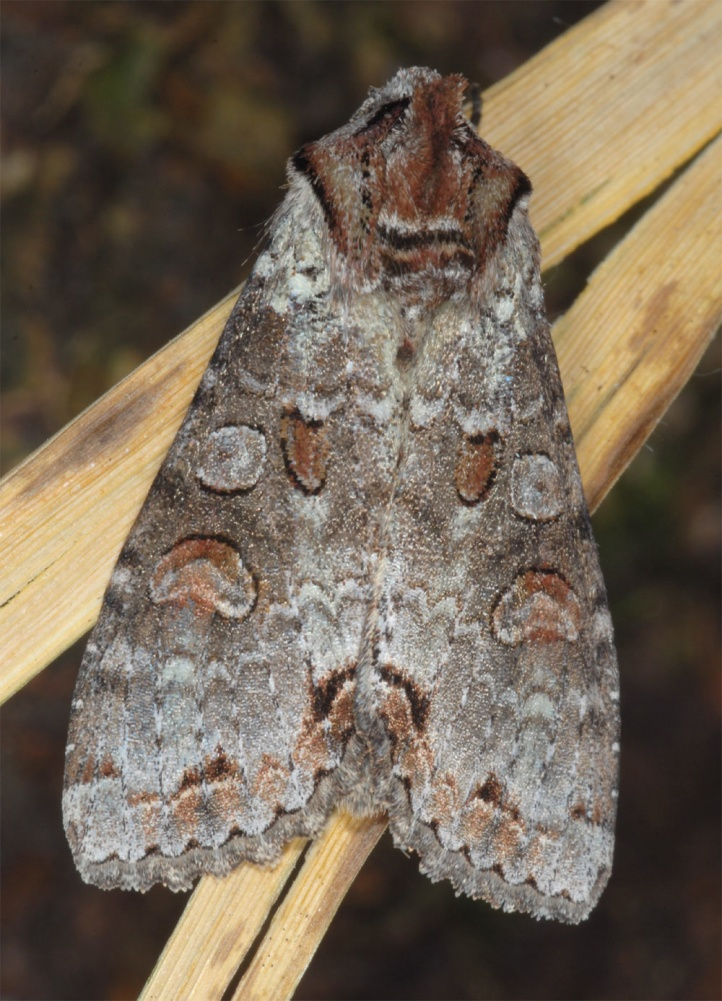Polia trimaculosa: Adult (e.l. northern Black Forest, SW-Germany) [S]