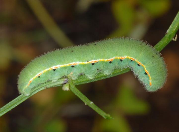 Europ ische schmetterlinge und ihre kologie colias croceus for Fliegen larve