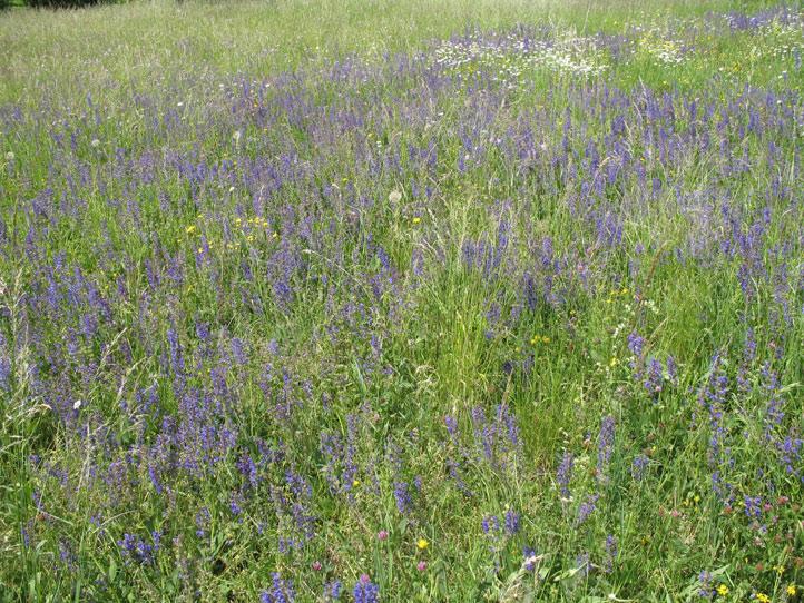 wo gibts lavendel wiesen pfalz