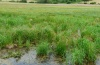 Stetophyma grossum: Habitat on the eastern Swabian Alb, Southern Germany: wet meadows (2011) [N]