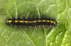 Callimorpha dominula: Half-grown larva [M]