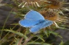 Polyommatus bellargus: Male (Hautes-Alpes, September 2012) [N]