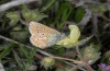 Polyommatus eumedon: Lower side (Northern Greece, Askio mountains, May 2011) [N]