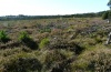 Vacciniina optilete: Habitat in a heath stage of a bog with much Vaccinium in southern Bavaria (October 2012) [N]