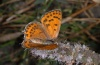 Lycaena thersamon: Female (Olympus, early August 2012) [N]