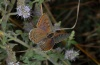 Lycaena tityrus: Female (Olympus, early August 2012) [N]