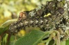 Cryphia algae: Larva (eastern Swabian Alb, Southern Germany, early June 2012) [M]