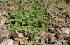 Cucullia celsiae: Larval habitat with Scutellaria cypria (W-Cyprus, Paphos forest, early April 2018) [N]