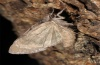 Bryonycta pineti: Freshly emerged adult which dries its wings (e.l. La Palma 2012) [S]