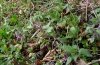 Atypha pulmonaris: Host plant (Pulmonaria officinalis), Iller, April 2012 [N]