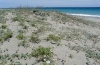 Prodotis stolida: Habitat in N-Greece south of Mount Olympus: coastal dunes (May 2010) [N]