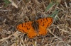 Melitaea didyma: Male (Olympus, early August 2012) [N]