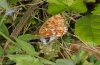 Boloria euphrosyne: Female (eastern Swabian Alb, Southern Germany, Dischingen, late May 2012) [N]
