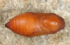 Hipparchia maderensis: Pupa (e.l. Madeira 2013) [S]