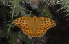 Argynnis paphia: Female (Olympus, early August 2012) [N]