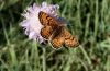 Melitaea parthenoides: Upper side (e.l. Alpes de Haute Provence, France) [S]