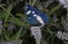 Limenitis reducta: Adult (Olympus, early August 2012) [N]