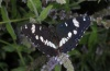 Limenitis reducta: Falter (Olymp, Anfang August 2012) [N]
