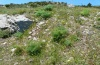 Papilio hospiton: Larval habitat with Ferula communis (not flowering!), Sardinia, 1000m above sea level, May 2012 [N]