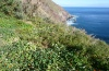 Pieris cheiranthi: Closely confined habitat in La Gomera below Agulo: narrow terraced fields with luxuriant growth of Tropaeoleum majus (February 2013)  [N]