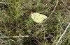 Colias chrysotheme: Oviposition (Hungary, Veszprém, late July 2020) [N]