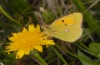Colias croceus: Male (Madeira, March 2013) [N]