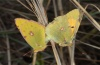 Colias croceus: Copulation (Madeira, March 2013) [N]