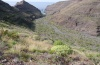 Pontia daplidice: Habitat on la Gomera (February 2013) with Carrichtera annua, Hirschfeldia incana and others. [N]