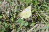 Colias erate: Oviposition on Medicago sativa (Hungary, Kunpeszer, late July 2020) [N]