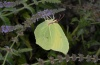 Gonepteryx rhamni: Male (Greece, Olympus, August 2012) [N]
