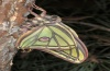 Actias isabellae: Male at unfolding of the wings. The tails are unfolded at last. [S]