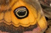 Saturnia pavonia: Hind wing eye (male) [S]