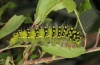 Saturnia pavonia: Larva (eastern Swabian Alb, Southern Germany) [S]