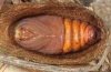 Saturnia spini: Male pupa [S]