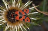 Zygaena fausta: Adult (Hautes-Alpes, mid-September 2012) [N]
